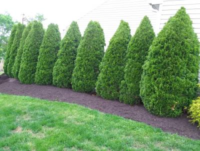 If you want a fast growing, easy-care evergreen, you can't beat an arborvitae.  Within a few years their dense foliage will fill in and create an ideal living fence.