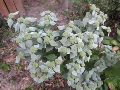 Clustered Mountain Mint.    Photo credit: Missouri Botanical Garden