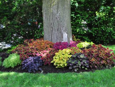 A planting of different varieties of Coleus