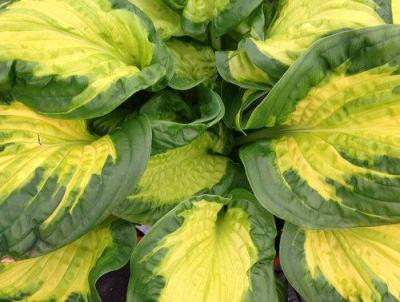 Hosta 'Etched Glass'.  Photo courtesy of Proven Winners