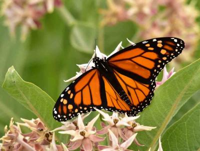 A monarch butterfly feeds on Milkweed (photo: Tom Koemer/USFWS)