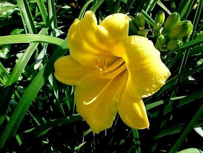 Stella de Oro Daylily.   Photo credit:  Missouri Botanical Garden