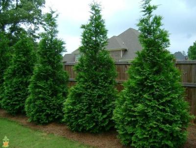 Thuga Green Giant Arborvitae