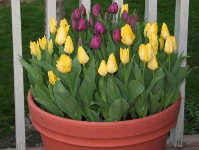 Tulips planted in container
