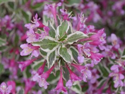 Weigela, My Monet Purple.  Photo: Proven Winners