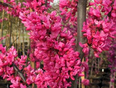 Cercis Canadensis 'Appalachian Red' (Native Redbud).   Photo Credit:          Lisa Strovinsky