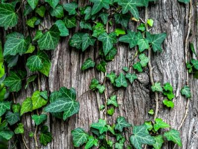 Ivy climbs up a tree with suction-cup-like roots called 'hold fasts'.