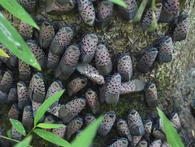 Spotted Lanternflies.  Photo: Penn State Ext.