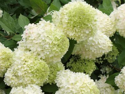 'Limelight' Hydrangea paniculata.  The best-selling panicle hydrangea in history.  Photo Credit: Proven Winners