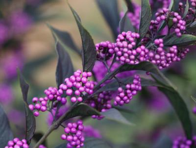 Pearl Glam callicarpa (Beautyberry).  Photo: Proven Winners