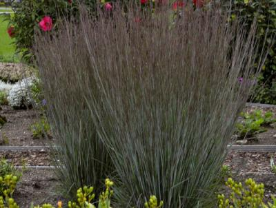 There are many cultivars of Little Bluestem.  This one is Prairie Winds 'Blue Paradise' .  Photo courtesy of Proven Winners