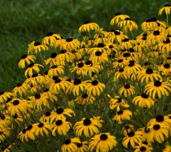 Rudbeckia 'American Gold Rush'.  Photo Credit: Walters Gardens