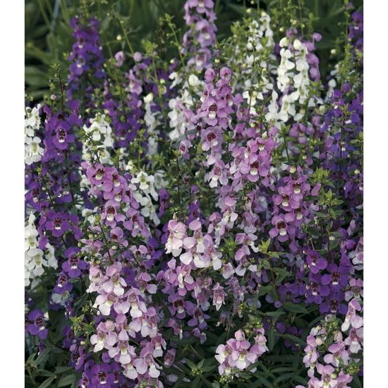 Angelonia - you'll love this annual.
