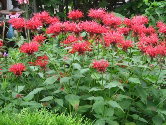 Bee Balm planted in mass