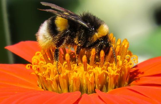 Bees carry pollen over their entire bodies as they fly from flower to flower