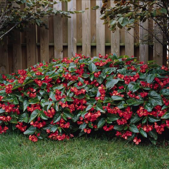 Dragon Wing Red Begonias grow in sun to part shade.