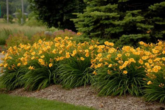 Clumps of Stella de Oro Daylilies.  Photo credit:  Missouri Botanical Garden