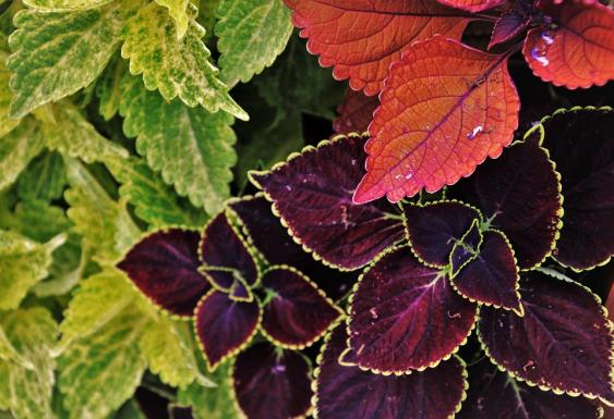 Many wonderful colors of Coleus to choose from.