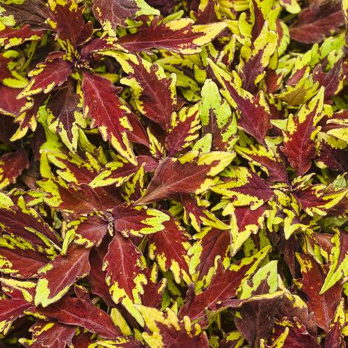 Coleus.  So many other varieties.  Photo: Proven Winners