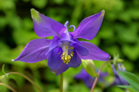 Native Columbine.  Photo Pixabay