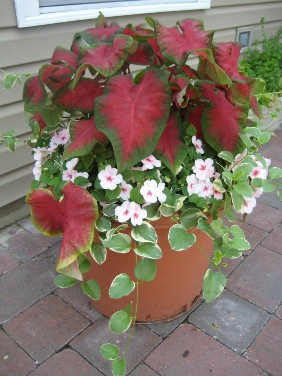 Container with Caladium