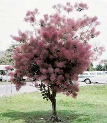 'Grace' Purple Smokebush.  Photo Credit: The Tree Center