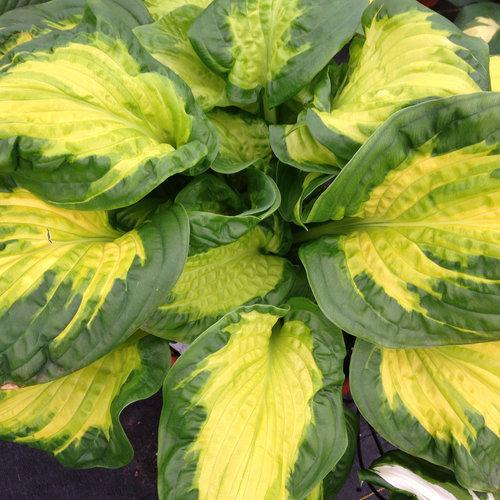 Hosta hybrid 'Etched Glass'.  Photo courtesy of Proven Winners