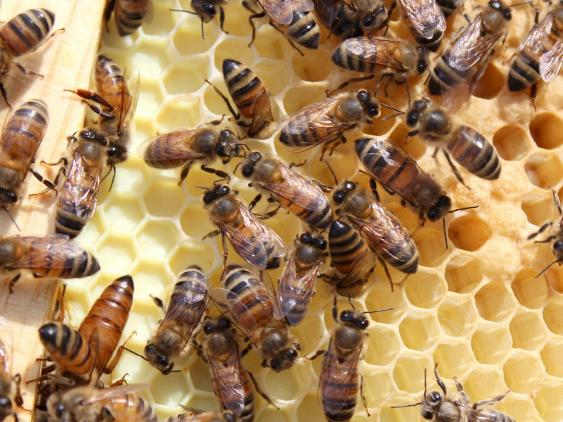 Inside honeybee hive