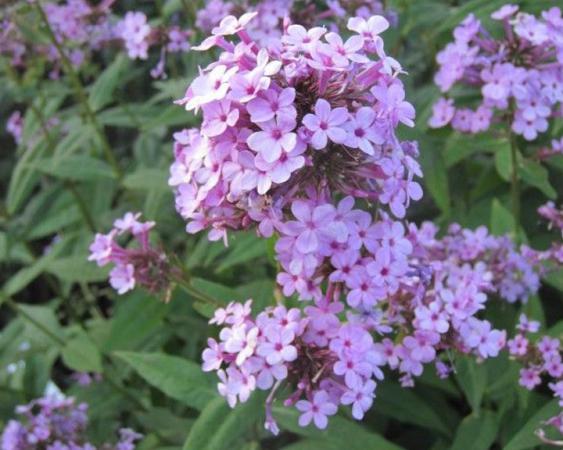 Photo Credit: Pennsylvania Horticultural Society; Garden Phlox 'Jenna'