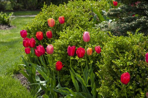 Tulips bring a splash of color mixed into landscaping.  Credit: colorblends.com