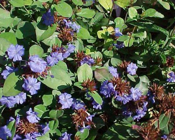 Photo Credit: Pennsylvania Horticultural Society; Leadwort