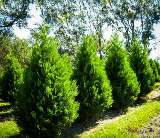 Leyland Cypress is a fast growing evergreen.  Photo credit: The Tree Center