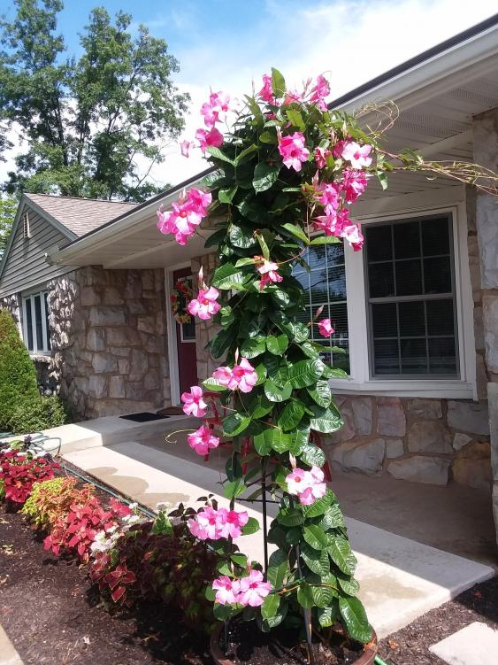 A Mandevilla plant and coleus add color to walkway in Pottstown, PA