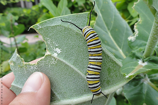 Monarch caterpillar feeding on leaf