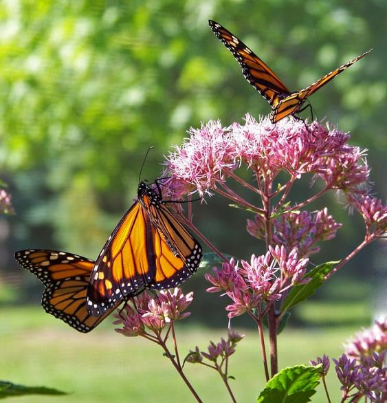 Monarch butterflies feeding on milkweed.  Pixabay Photo