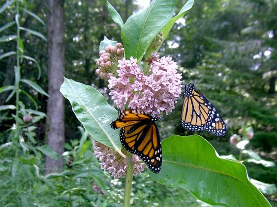 Monarchs feeding on milkweed nectar