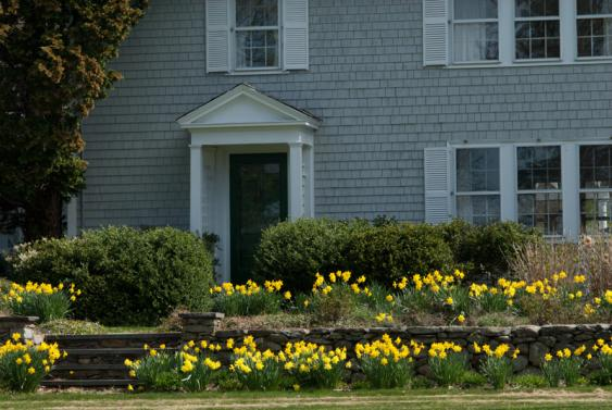 Naturalized Daffodils.  Credit: Colorblends.com