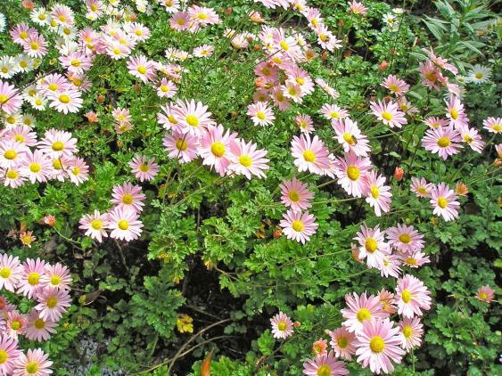 'Hillside Sheffield Pink' Chrysanthemum.  Photo Credit: Pennsylvania Horticultural Society