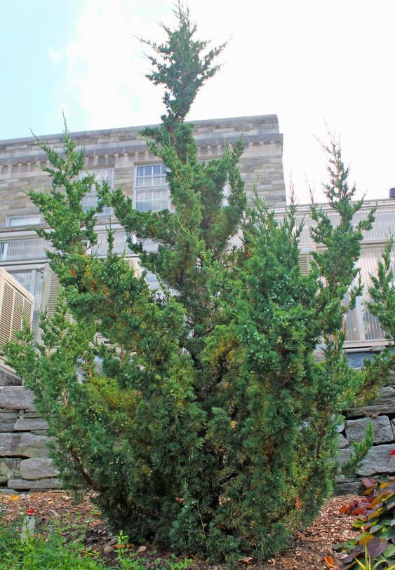 'Robusta Green' Chinese Juniper.  Photo Credit: Pennsylvania Horticultural Society