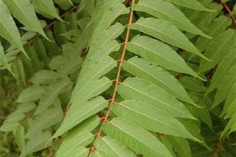 Tree of Heaven (Ailanthus Altissima).  Photo: Penn State Ext.