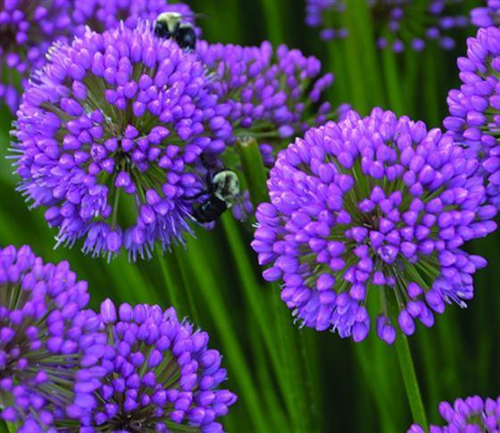 Allium 'Millenium'.  Photo Credit:  Walters Gardens