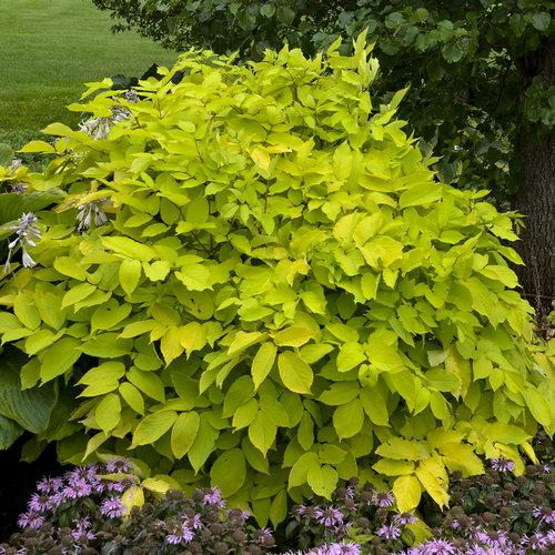 Perennial Plant for the Year 2020 - Aralia Cordata 'Sun King'.     Photo courtesy of Proven Winners