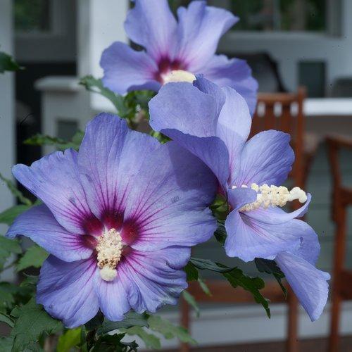 Azurri Blue Satin Rose of Sharon (Hibiscus).  Picture: Proven Winners