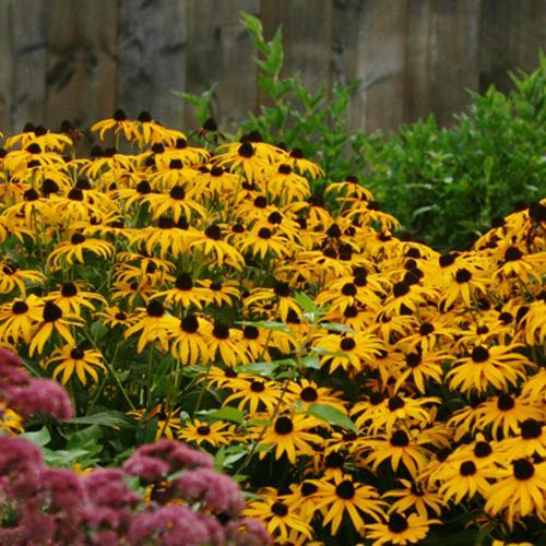 Black-eyed Susan.  Photo: Proven Winners