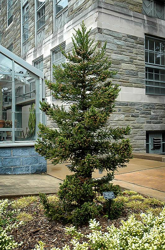 Black Dragon Japanese Cedar Cryptomeria.  Photo Image: The Tree Center.  An evergreen in the cypress family that has dense foliage and a wispy, attractive look.  Can get large and perfect for planting layers of shrubs in front.                                                                            een in the cypress family that has dense foliage and a soft wispy but attractive look.  Perfect for planting another layer of shrubs in front.