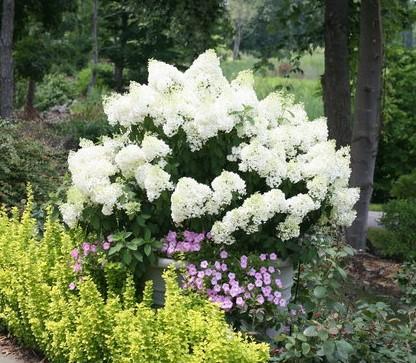 Hydrangea paniculata Bobo.    Photo Credit: Proven Winners