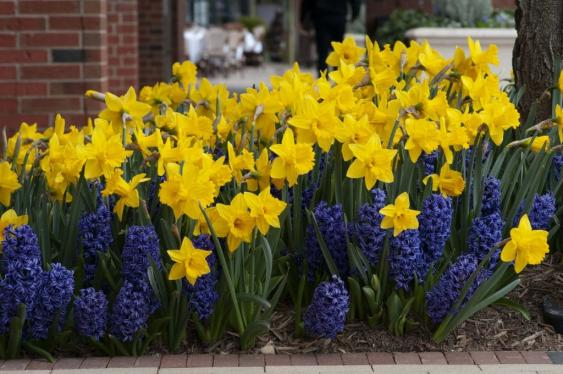 Daffodil and Hyacinth Combination.  Credit: colorblends.com