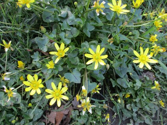 Lesser celandine or fig buttercup is a vigorous, invasive weed that spreads by bublets and tubers.  A non-selective herbicide thata contains glyphosate can be applied to help eradicate this tough weed.  Small infestations can be removed by hand digging and removing as much of the root system as possible.