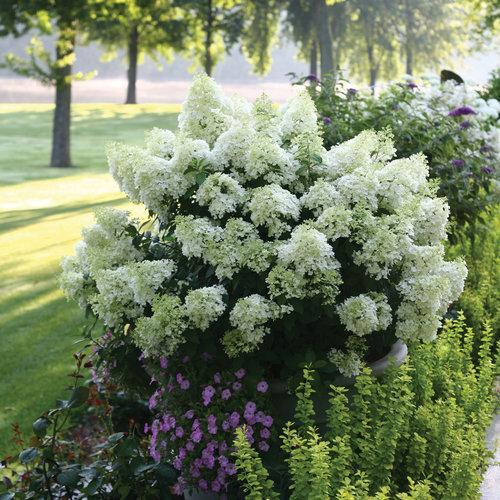 'Bobo' Hydrangea paniculata.  Super dwarf selection becomes more flower than foliage and can even thrive in a large patio container.  Photo Credit: Proven Winners