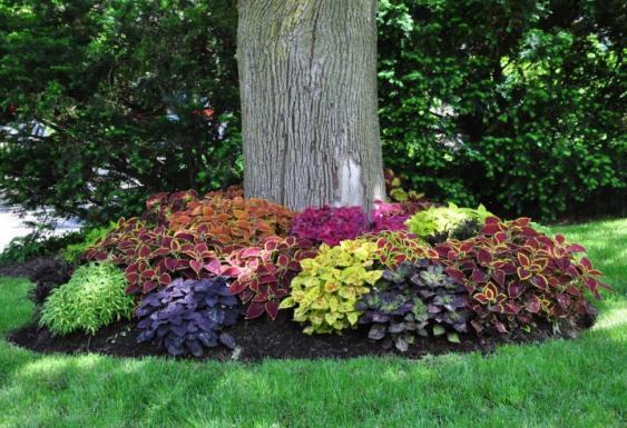 Vibrant coleus planted at base of tree.  Image via: threedogsinagarden.blogspot.com